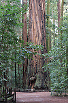 Coast redwoods at Henry Cowell Redwoods State Park