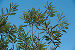 Leaves against blue sky background, Palmarium, Ankanin'ny Nofy, Madagascar