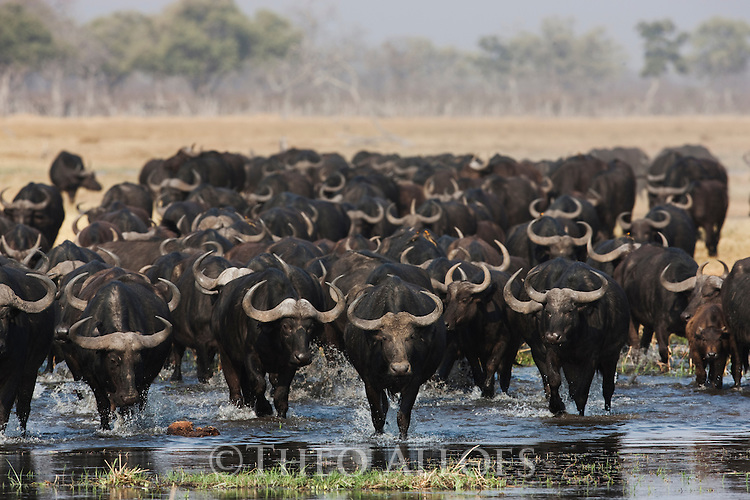 Botswana, Chobe National Park, Savuti, Cape buffalo or African buffalo (Syncerus caffer) herd crossing water in Savuti Marsh