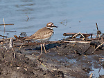 Killdeer Shorebird