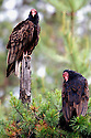 Turkey vultures in confier forest. Yaak Valley in the Purcell Mountains, northwest Montana.