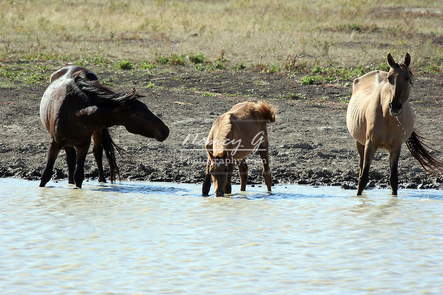 Wild horses at a watering hole to get a drink.  One horse is not happy to share the water with other members of the herd. greifenhagen