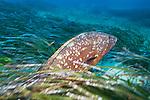 Giant Dusky Grouper-Mérou brun (Epinephelus marginatus) of Méditerranée.