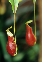 A Pitcher Plant (Nepenthes coccinea).