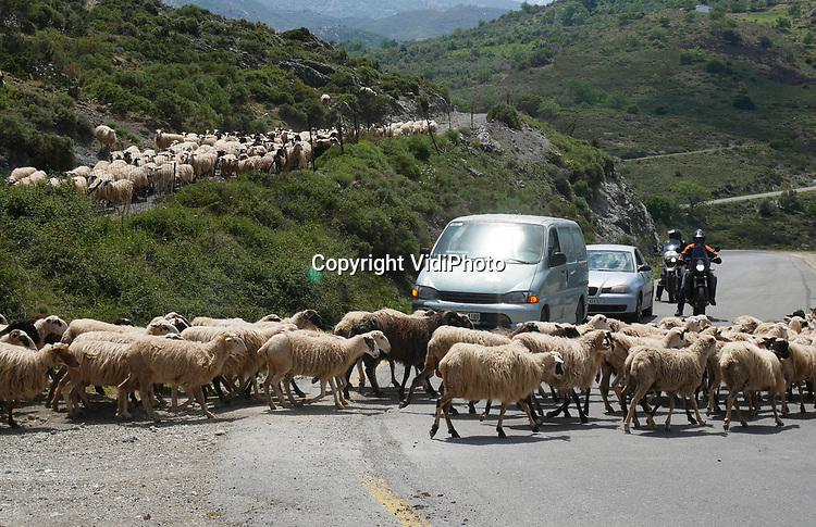 Foto: VidiPhoto<br /> <br /> HERAKLION - Een Griekse schaapherder verplaatst zijn kudde tussen de bergen in het achterland van de Kretenzische hoofdstad Heraklion. Schapenkuddes die een weg oversteken zijn voor toeristen een bijzondere attractie, maar behoren in Griekenland tot het dagelijks leven. Op Kreta leven meer schapen en geiten dan mensen. Ze leveren met de bekende Feta (geiten- en schapenkaas), vlees en wol -naast het toerisme- een belangrijke bijdrage aan de economie van het relatief welvarende Kreta. Zo'n 50 procent van de grond op Kreta is beweidbaar en 45 procent van de beroepsbevolking is werkzaam in de landbouw op bijna 100.000 bedrijven en bedrijfjes. Kreta is daarmee het belangrijkste landbouwgebied van Griekenland en de landbouwproducten zijn het belangrijkse exportproduct van het eiland. De veeteelt concentreert zich voornamelijk in de bergachtige regio's. Een Griekse geitenhoeder loopt gemiddeld 8 kilometer per dag, een schapenherder ongeveer 6 kilometer per dag om te zorgen dat de kudde voldoende voedsel en beweging krijgt. Jaarlijks bezoeken zo'n 230.000 Nederlanders Kreta.