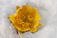 The bright yellow flowers of Adonis Amurensis (fukujuso) coming up through the snow in Nagano, Japan.