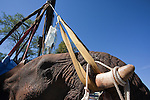 Wild elephant bull, Loxodonta africana, with drip hoisted into position by crane for vasectomy operation in bush by the Elephant Population Management Program team.  Private game reserve in Limpopo, South Africa