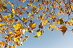 Autumn 2012, Dublin, Ireland: Multicoloured leaves hang on the branches of a tree while behind is a bright blue sky. Leaves of yellow and green cling to the branch as it becomes ever more bare in this typical fall scene.