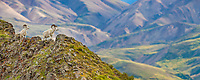 Panorama of Dall sheep and the Polychrome mountains of the Alaska Range in Denali National Park, Alaska.