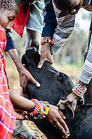 Maasai men stop a cow from bleeding, after collecting its blood in a calabash.