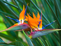 A close-up of colorful Bird-of-Paradise flowers on the Big Island.