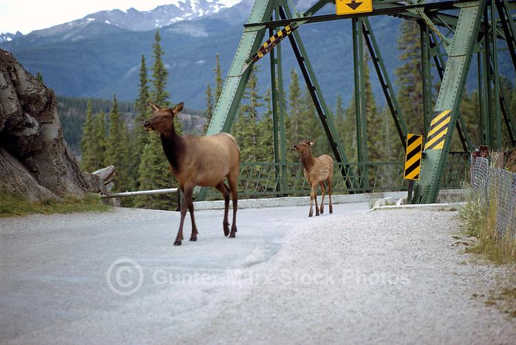 Jasper National Park, Canadian Rockies, AB, Alberta, Canada - Elk Cow and Calf, Wapiti (Cervus canadensis), walking on Rural Road near Bridge