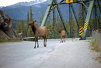 Jasper National Park, Canadian Rockies, AB, Alberta, Canada - Elk Cow and Calf, Wapiti (Cervus canadensis), walking on Rural Road near Bridge