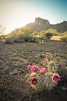 Pretty in Pink - Arizona - Cactus Bloom - Lost Dutchman Wilderness