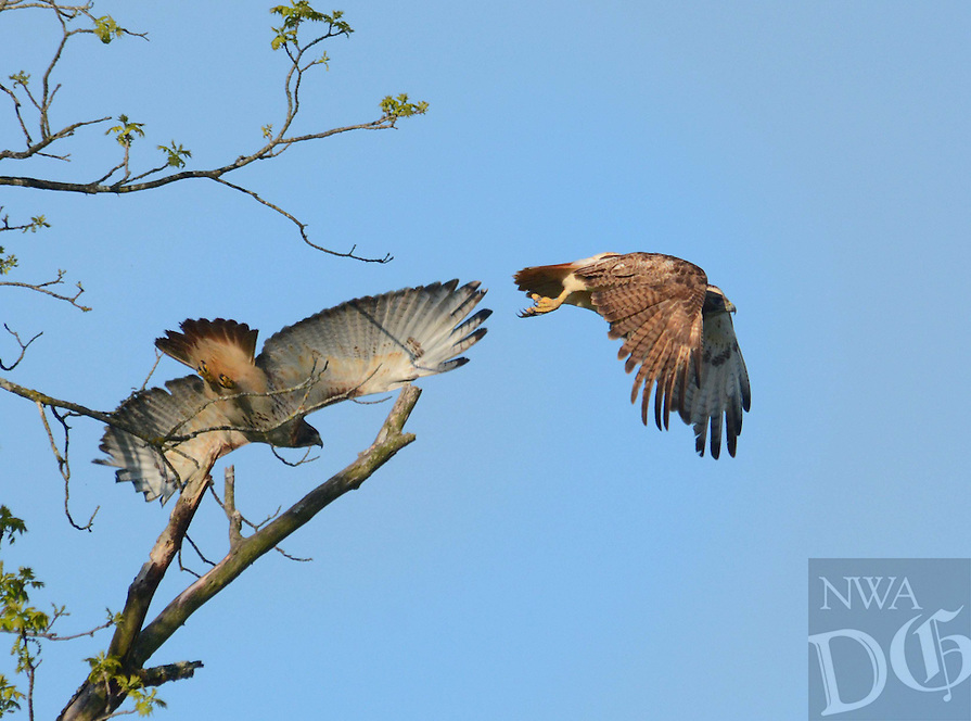 Courtesy photo/TERRY STANFILL<br /> Red-tailed hawks take flight near Gentry. Terry Stanfill of the Decatur area took the picture May 6 along the Eagle Watch Nature Trail.