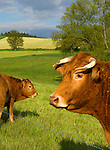 Cows grazing in Auvergne