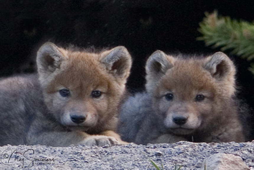 The opportunities to photography wild wolf (Canis lupus) pups are extremely rare. These are survivors of the Canyon pack's litter of 2008 in Yellowstone. One of them grew up to survive into the fall, but also later disappeared. The Canyon pack, in later years has been more successful in raising their young into adulthood. Canyon area, Yellowstone.