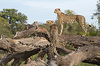 A pair of African cheetah stand alert on top of a fallen tree branch, Botswana, Africa