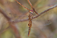 342950020 a wild spot-winged glider pantala hymenaea perches on a small tree branch in inyo county california