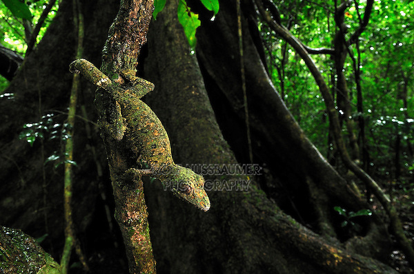 .Mossy Leaf-tailed Gecko (Uroplatus sikorae), adult, Montagne d'Ambre National Park, Antsiranana, Northern Madagascar