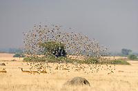 Uganda Kob and flock of birds, Queen Elizabeth National Park, Uganda, East Africa