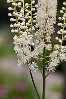 The long slender flowers of the Black snakeroot (Actaea racemosa)