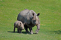 Indian Rhinoceros (Rhinoceros unicornis) mother with calf.