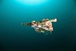 Dragon sea moth or Pegasus (Eurypegasus draconis) swimming