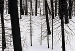 Burnt lodgepole pines stand in stark contrast to new snow, Yellowstone National Park, Wyoming, USA