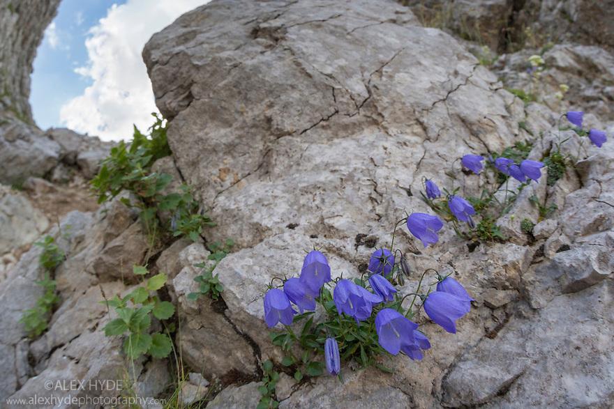 Fairy's Thimble {Campanula cochleariifolia} growing on limestone cliff face. Triglav National Park, Julian Alps, 2000m, Slovenia. July.