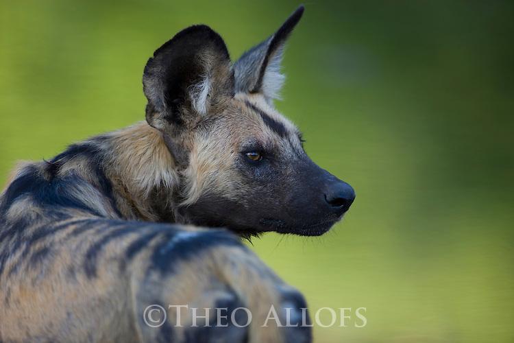 African wild dog (Lycaon pictus) portrait, close-up of head, Botswana, Okavango Delta, Moremi Game Reserve