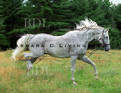 Spectacular Bid (Bold Bidder - Spectacular, by Promised Land)