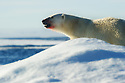 KING IN THE ARCTIC - Polar bear (Ursus maritimus) in Svalbard