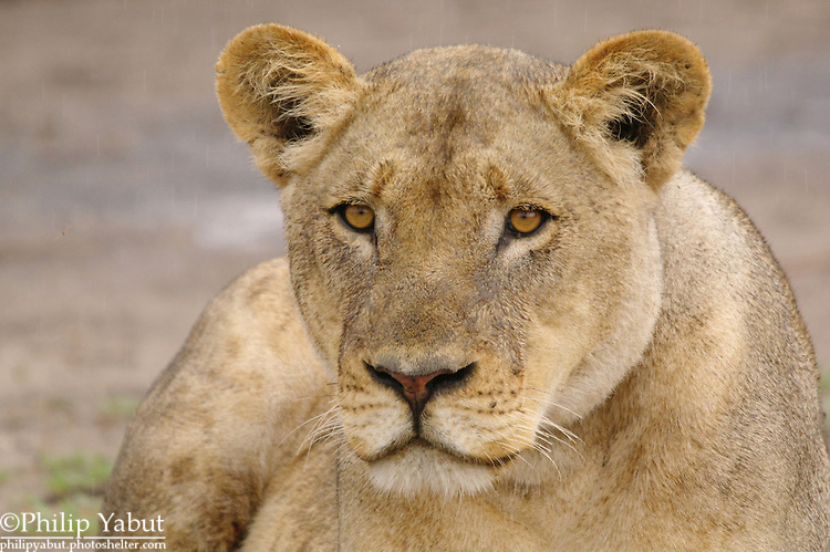 This lioness seemed to simply enjoy sitting around as the younger cats played in the rain.<br />