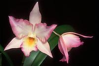 Iwanagaara Appleblossom aka Leonara Appleblossom Orchid