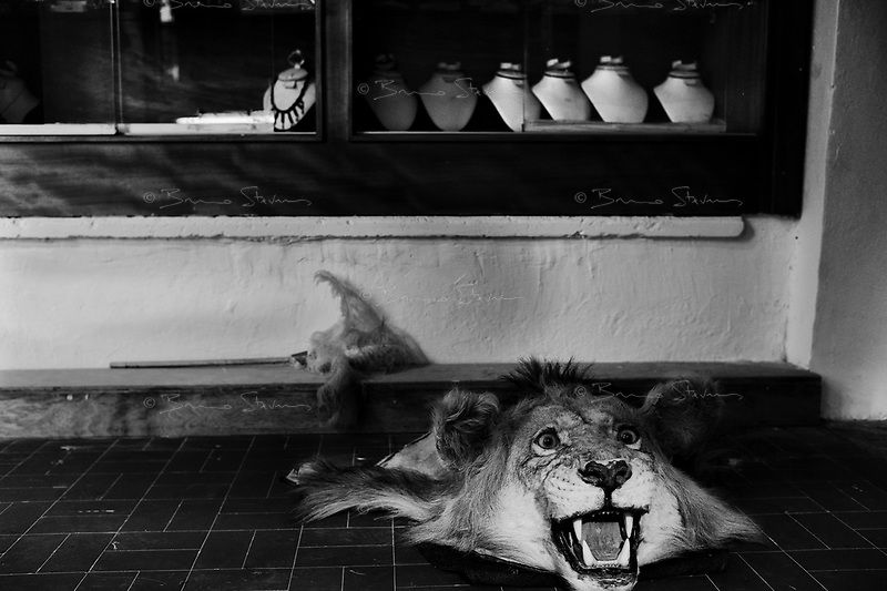 Tripoli, Libya, March 27, 2011..A Libyan lion's head greet the rare visitors of a Tripolil antique shop with a silent and harmless roar. Ten days after the beginning of the Coalition military operation over Libya, economic standstill and uncertainty about the future weigh heavily toll on the population's morale..