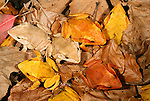 Solomon Island leaf frogs, Solomon Islands, South Pacific