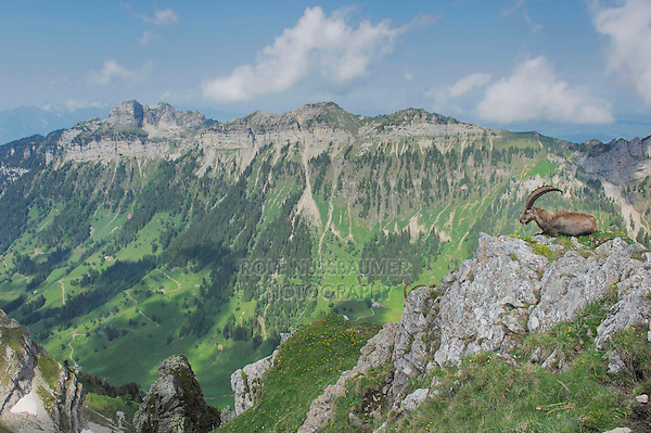 Alpine Ibex (Capra ibex), adult on a ledge with Alps in background, Niederhorn, Interlaken, Switzerland