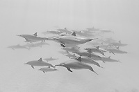RZ1045-Dbw1. Spinner Dolphins (Stenella longirostris), very gregarious species often found in large groups. Hundreds of thousands were killed in past decades in purse seine nets used by the commercial tuna fishing fleet in the eastern tropical Pacific Ocean. Egypt, Red Sea. Color photo converted to black and white.<br /> Photo Copyright &copy; Brandon Cole. All rights reserved worldwide.  www.brandoncole.com
