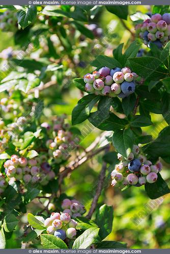 Blueberry bush closeup of berries. Ontario, Canada.