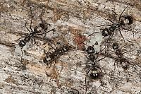 Grauschwarze Sklavenameise, Sklaven-Ameise, Furchtsame Hilfswaldameise, Waldameise, Waldameisen, transportieren ihre Eier, Formica fusca, Serviformica fusca, negro ant