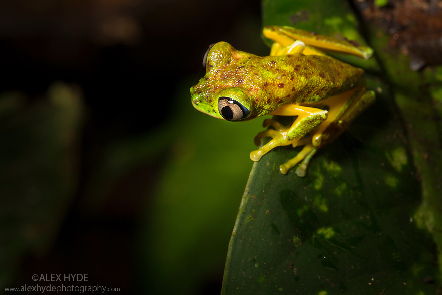 Lemur Leaf Frog (Agalychnis lemur) moving through rainforest vegetation at night. Central Caribbean foothills, Costa Rica. May. IUCN Red List critically endangered species.