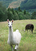 lama på beite i Flora i Selbu. Bente Haarstad The llama (Lama glama) is a South American camelid. Also used in Norway.