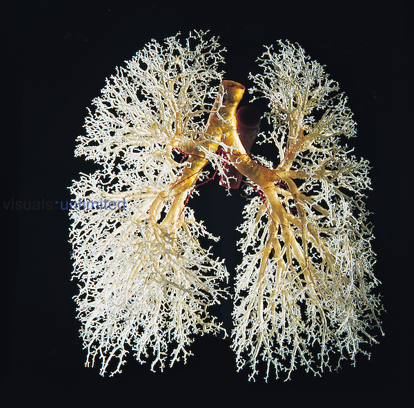 Resin cast of the human bronchial tree (yellow) and the airways of the lungs (white). The lungs take in around 0.5 liters of air in every breath, with around 12 breaths per minute at rest. The lungs have a large network of airways, which gives them a huge surface area for oxygen to diffuse into the blood and carbon dioxide to diffuse out.