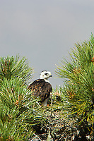 Short-tailed Hawk (Buteo brachyurus) nestling, in nest; Arizona, (Nesting Record)