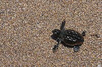 na861. Loggerhead Sea Turtle hatchling (Caretta caretta). Florida, USA, Atlantic Ocean..Photo Copyright © Brandon Cole. All rights reserved worldwide.  www.brandoncole.com..This photo is NOT free. It is NOT in the public domain. This photo is a Copyrighted Work, registered with the US Copyright Office. .Rights to reproduction of photograph granted only upon payment in full of agreed upon licensing fee. Any use of this photo prior to such payment is an infringement of copyright and punishable by fines up to  $150,000 USD...Brandon Cole.MARINE PHOTOGRAPHY.http://www.brandoncole.com.email: brandoncole@msn.com.4917 N. Boeing Rd..Spokane Valley, WA  99206  USA.tel: 509-535-3489