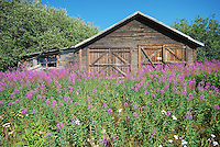 A full crop of fireweed surrounds this old cabin.