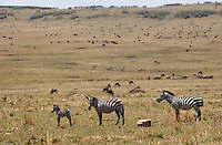 A herd of zebras and wilder beasts graze in the plains of the Maasai Mara National Park in south Kenya.  (PHOTO: MIGUEL JUAREZ LUGO).