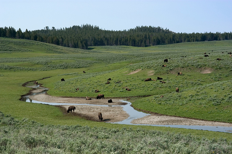 WY: Wyoming; Yellowstone National Park:.Buffalo in Hayden Valley..Photo #: yellow1226..Photo copyright Lee Foster, 510/549-2202, lee@fostertravel.com, www.fostertravel.com..