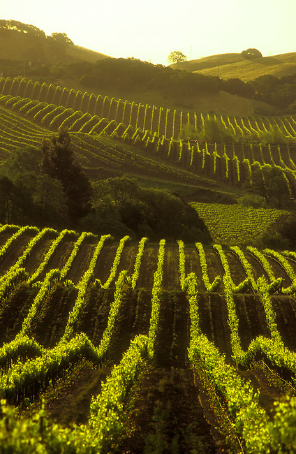 Carneros vineyard in southern Napa County